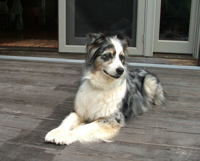 Our Aussie Frenzy, who was a Princess as well as a fantastic companion. Our lives were hugely enriched by her time with us.
