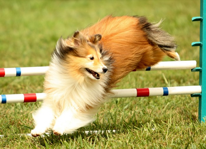 Scamper turning over a jump