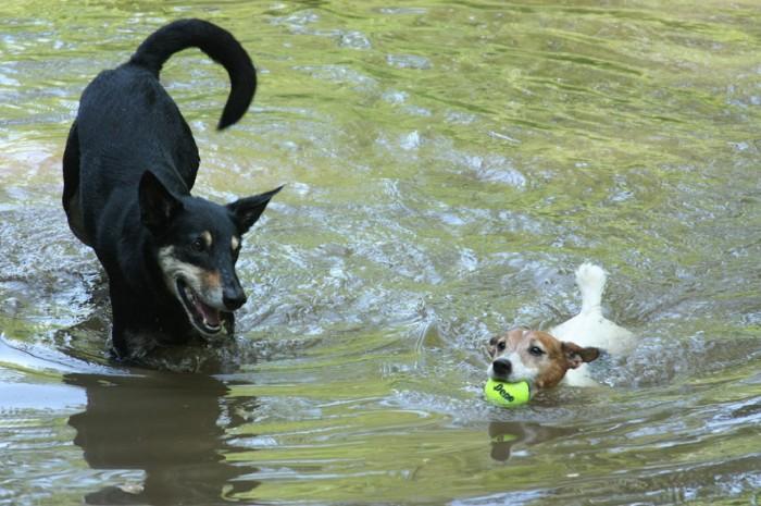 Seeker's way of enjoying the river is to supervise all the other dogs - very vocal. He has a blast.