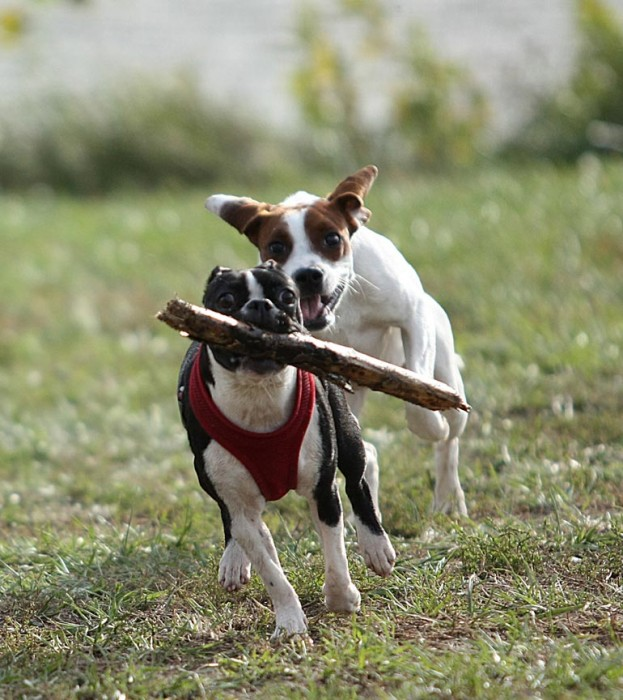 Boston terrier with large stick. Lookout fellow, you're about to be dive-bombed!