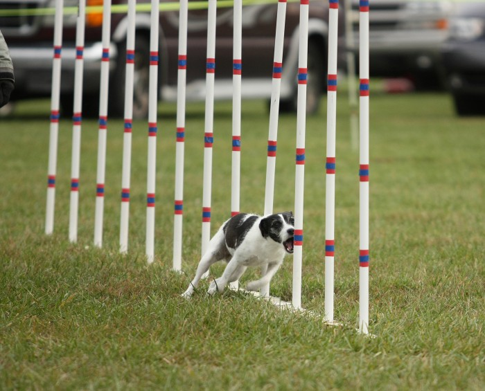 Do all dogs eat the weave poles?