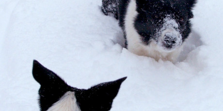 Two border collies in deep snow