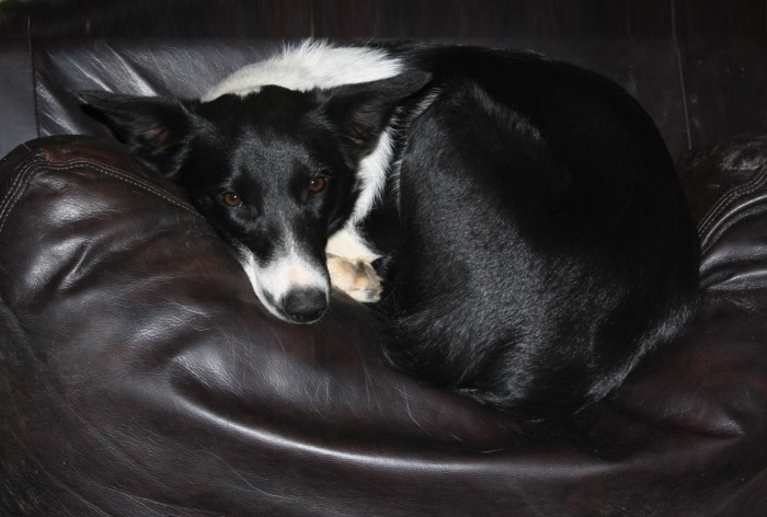 Border collie resting after a tough day on the job :)