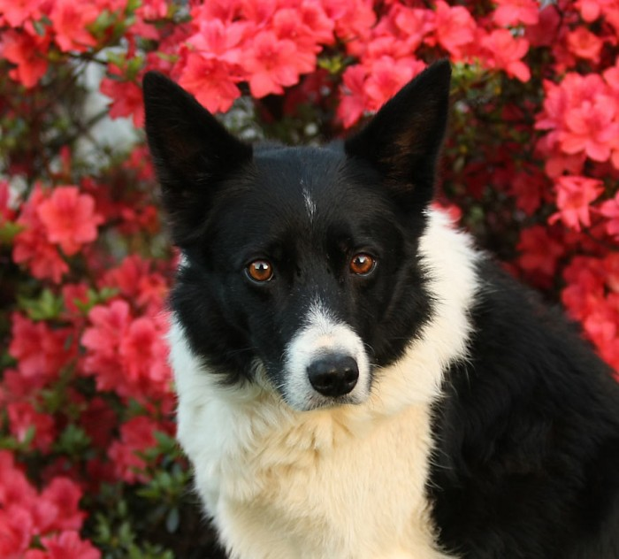Border collie Jolt with azaleas
