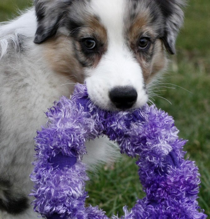 Our new Australian Shepherd puppy Jack