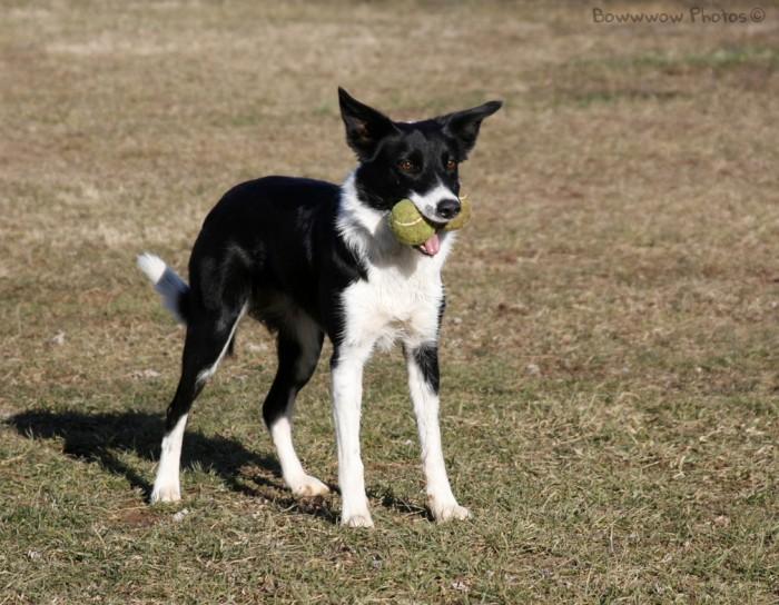Zip the border collie loves her tennis balls