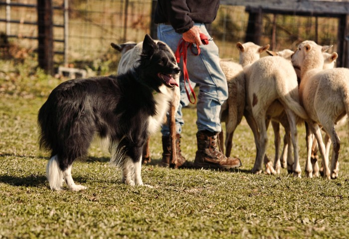 Border collie helping bring in the sheep