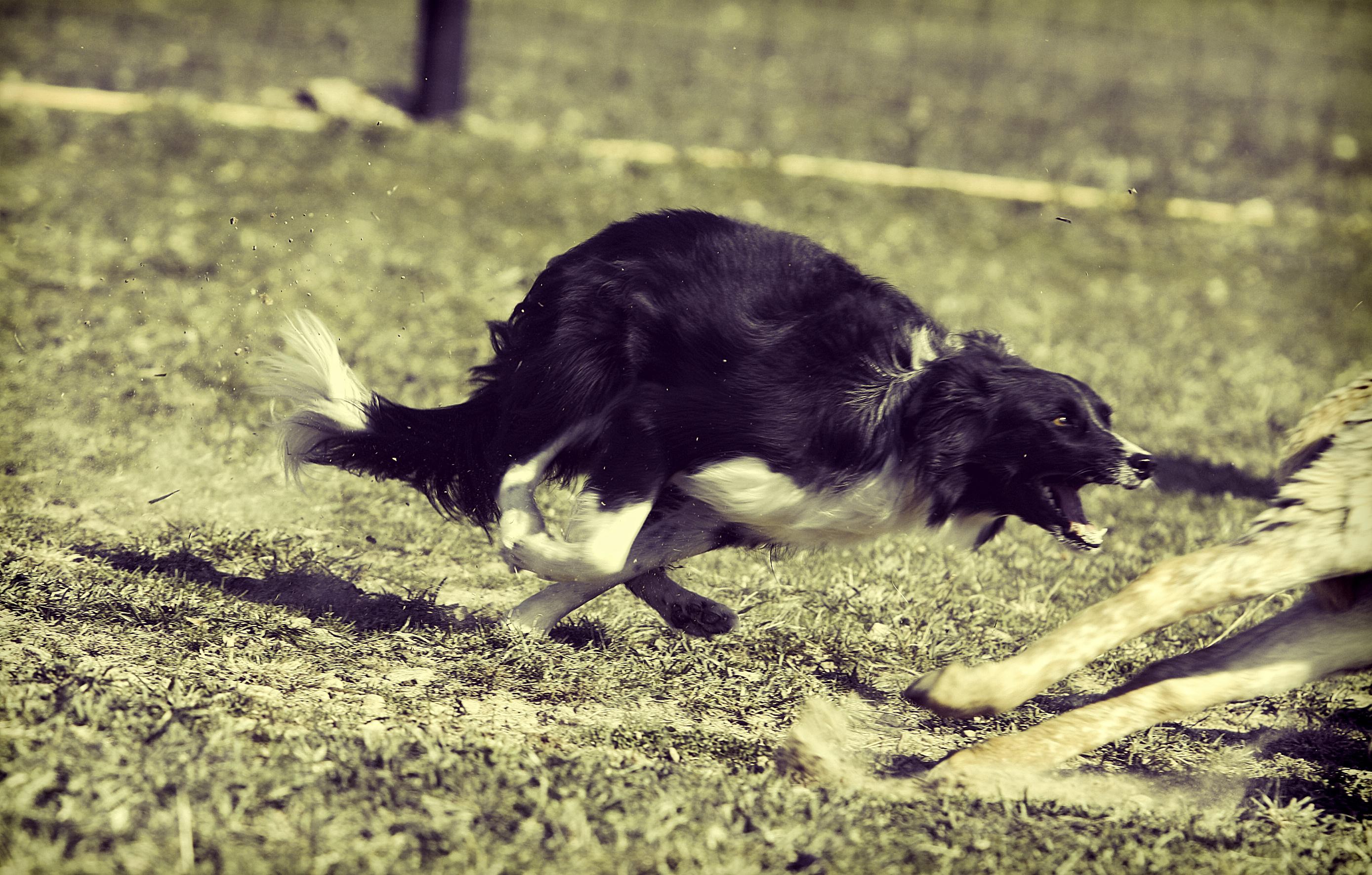australian herding dog