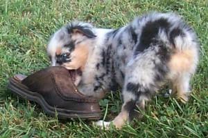 Australian shepherd puppy Frenzy