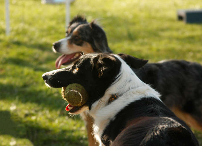 Border collie and aussie in evening light