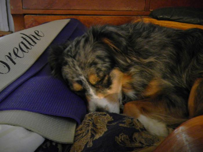 Aussie Genie taking a nap in great comfort