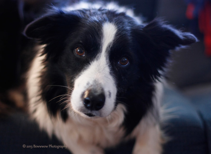 soulful border collie Jig