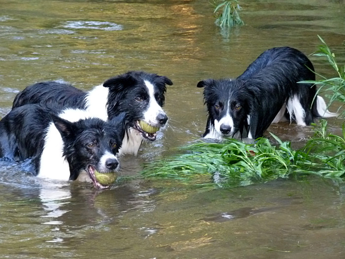 Three border collies enjoying the river on a hot July afternoon