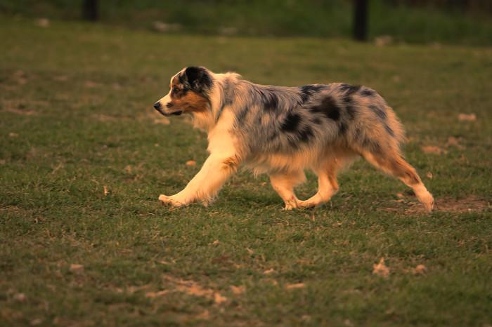 Australian shepherd with beautiful side movement