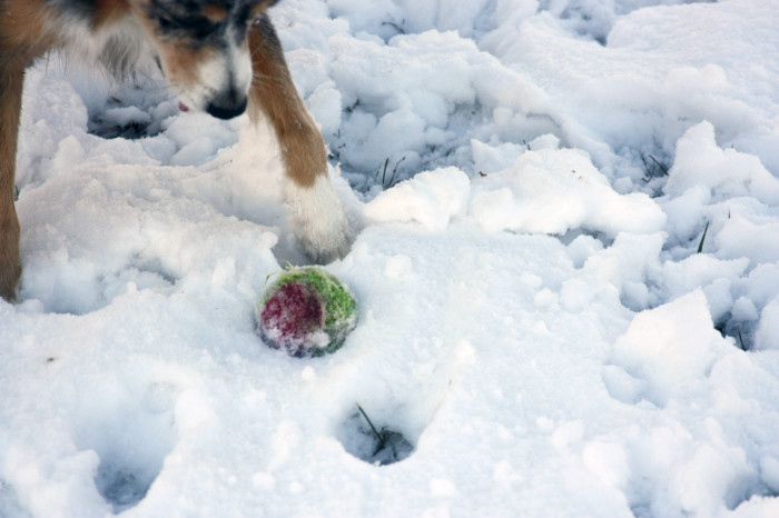 Australian shepherd with tennis ball in the snow
