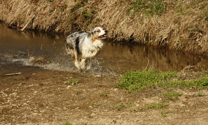 Australian shepherd playing at the river
